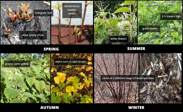 Japanese Knotweed seasons
